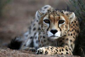 ببینید | تازهترین تصاویر ثبت شده از پوزپلنگ آسیایی در پارک ملی توران