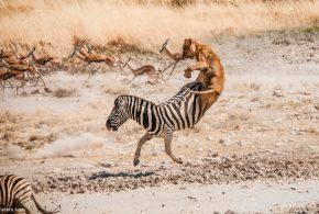 ببینید | پیروزی گورخر بر شیر با یک حرکت دیدنی!